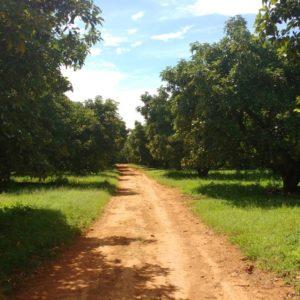 Produtor de Abacates | Grupo Tsuge é um dos melhores do Brasil